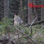 Wilk w Górach Sowich