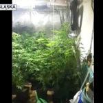 Plantacja marihuany w Nowej Rudzie i ok. 3 tys. gotowych porcji