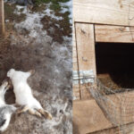 Psy zagryzły króliki